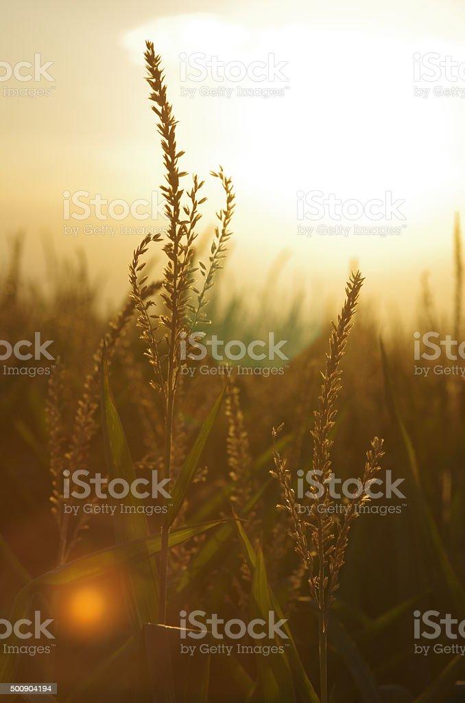 Corn field with sunset stock photo