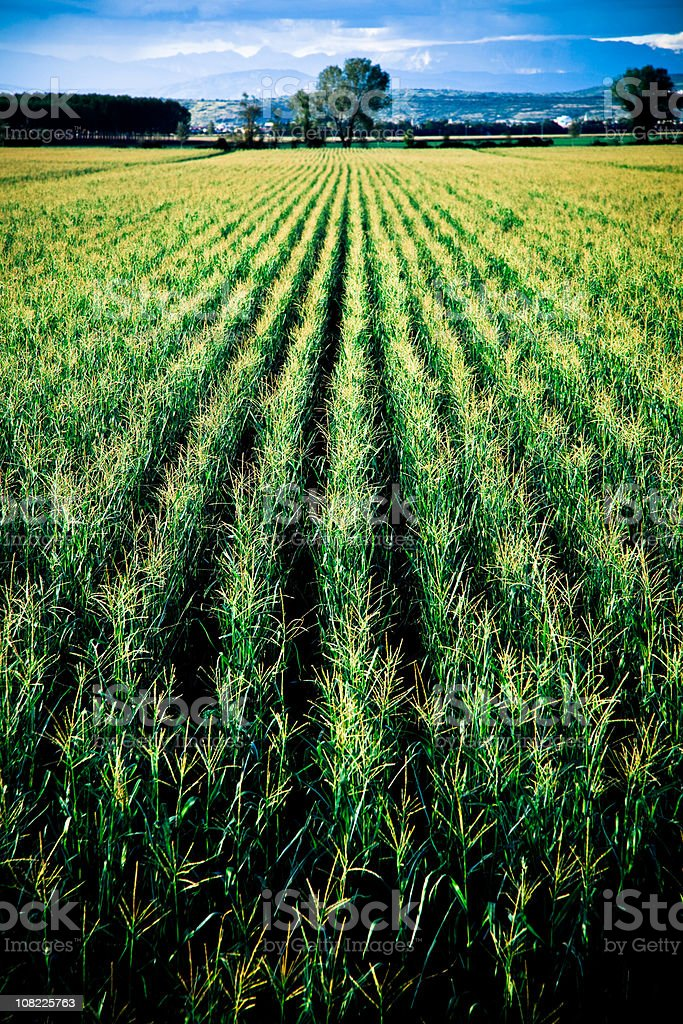 Corn Field with Trees and Blue Sky in Background royalty-free stock photo