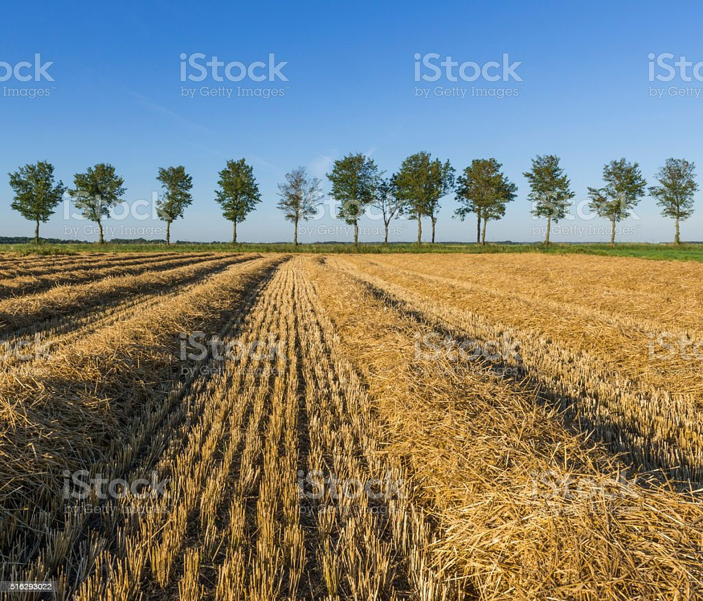 Corn field with trees stock photo