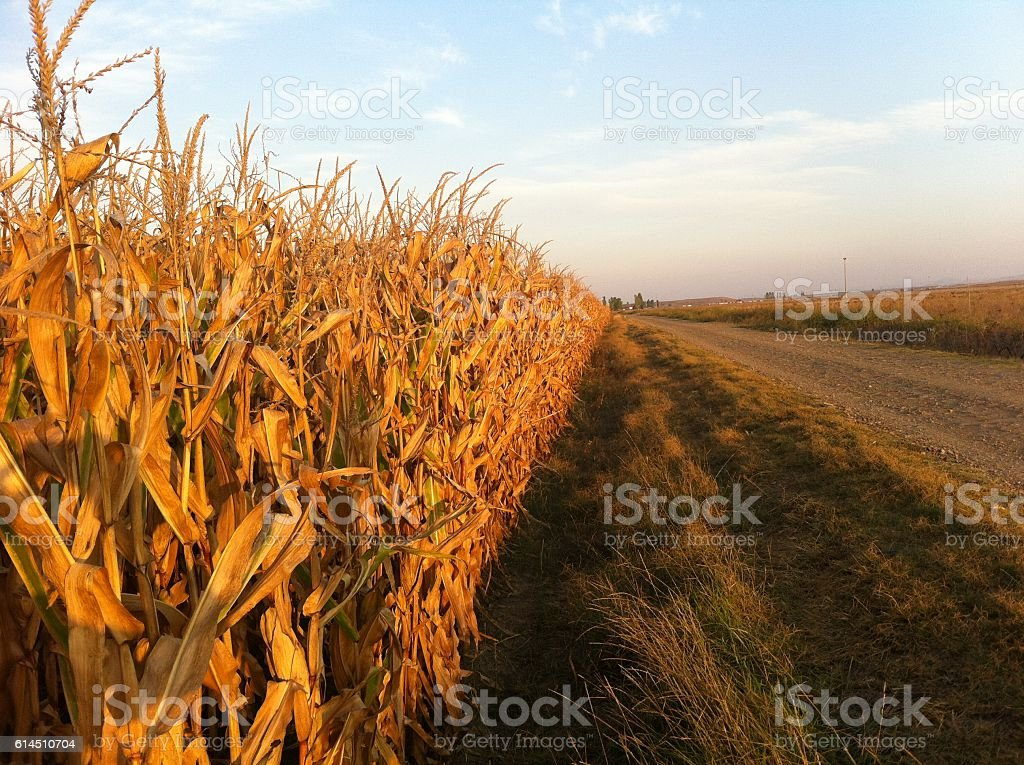 Corn Fields at Sunset stock photo