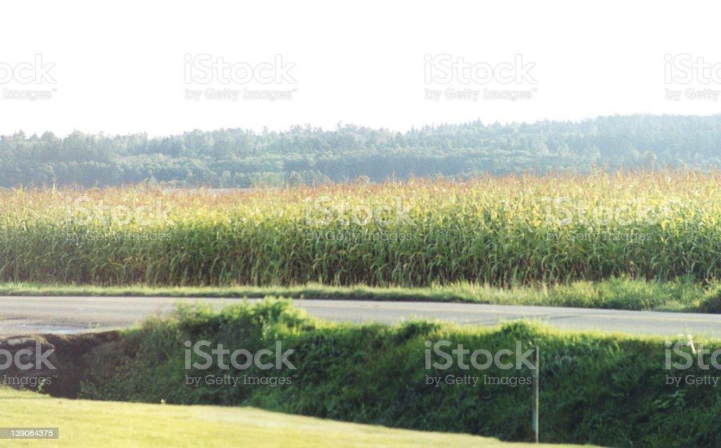 Corn Fields royalty-free stock photo
