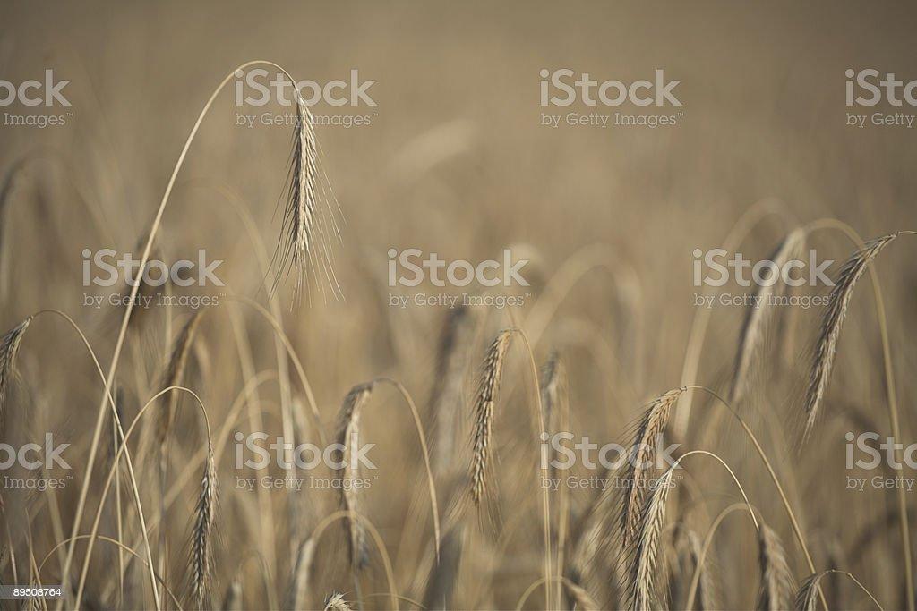 corn fleld royalty-free stock photo