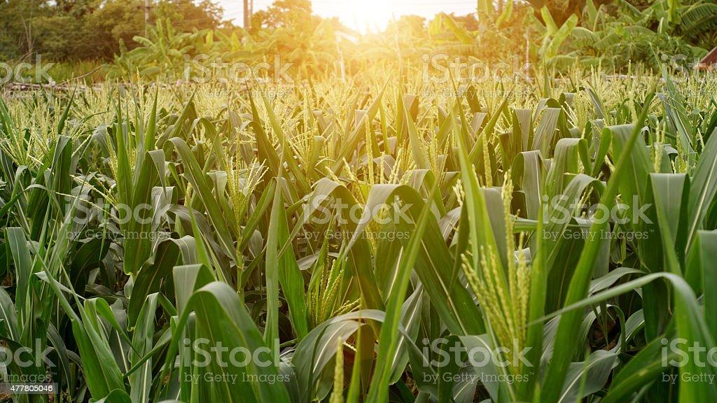 Corn flower. stock photo