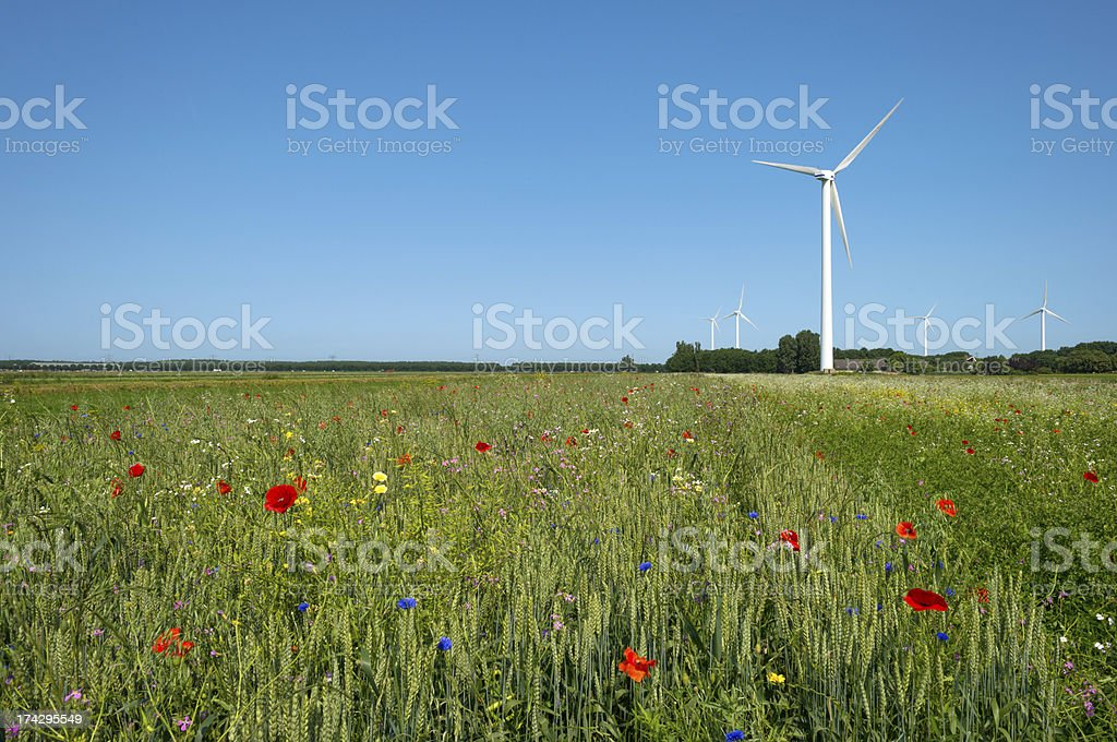 Corn growing on a field in summer royalty-free stock photo