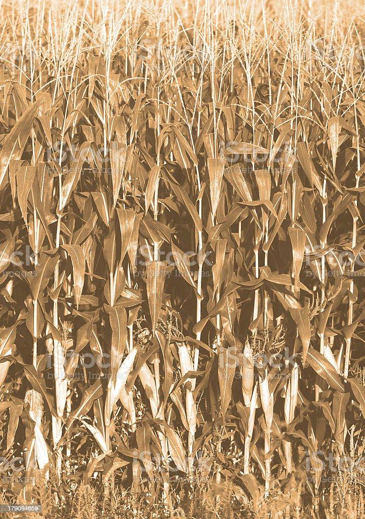 corn growing on farm royalty-free stock photo