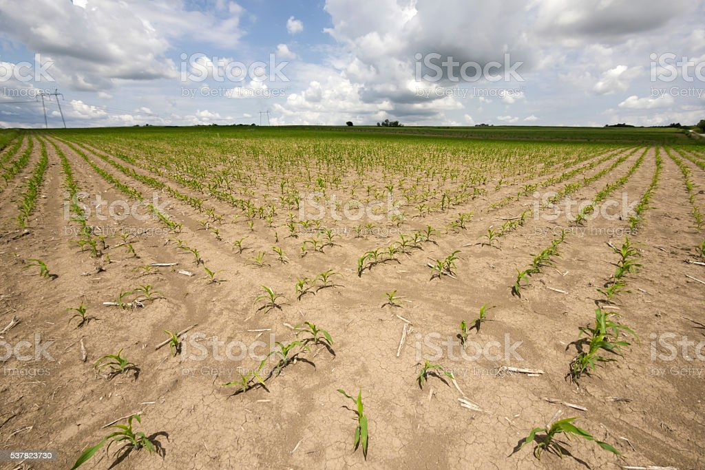 Corn growth on agriculture field in springtime stock photo