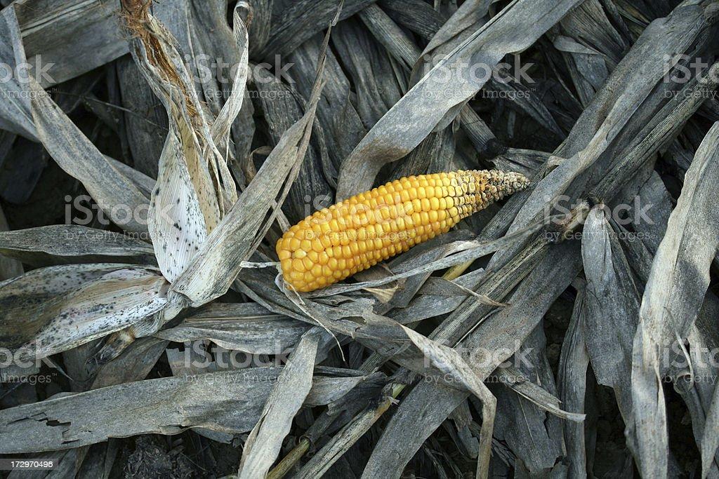 corn harvest royalty-free stock photo