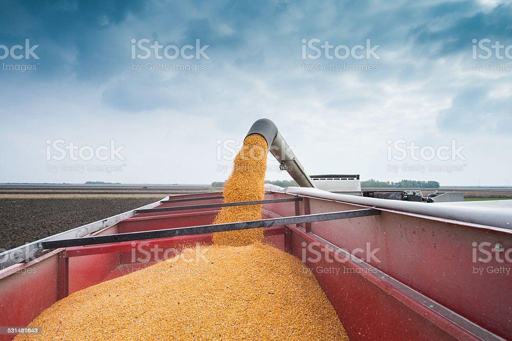 Corn harvest stock photo