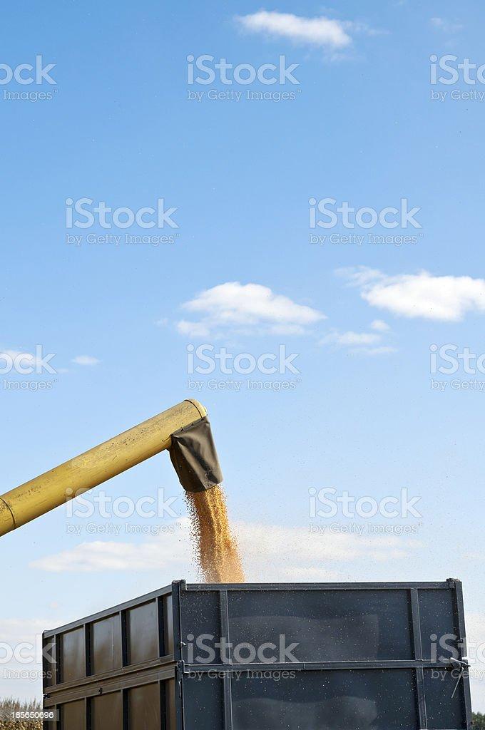 Corn harvesting detail royalty-free stock photo