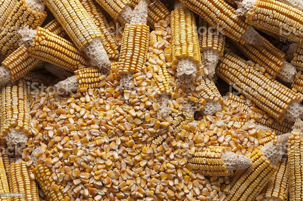 Corn harvesting royalty-free stock photo