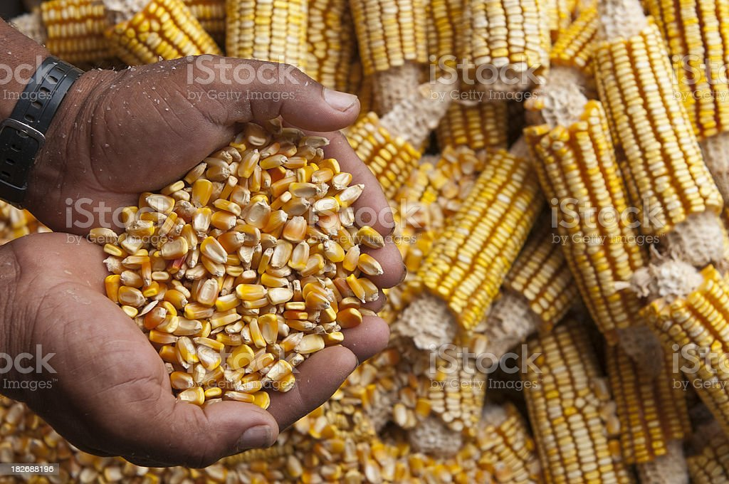 Corn harvesting royalty-free stock photo