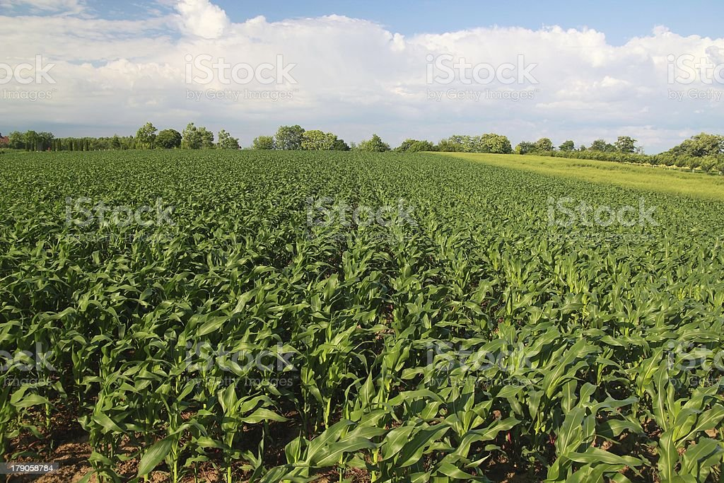 Corn in field royalty-free stock photo