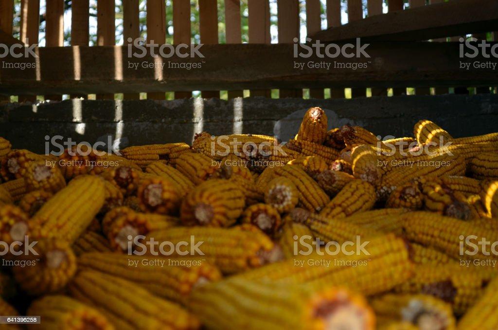 Corn in old storage stock photo