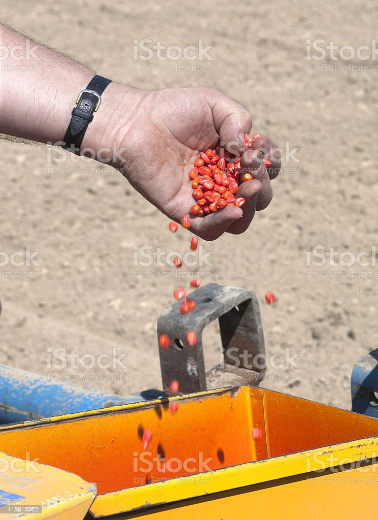 Corn in open hand stock photo