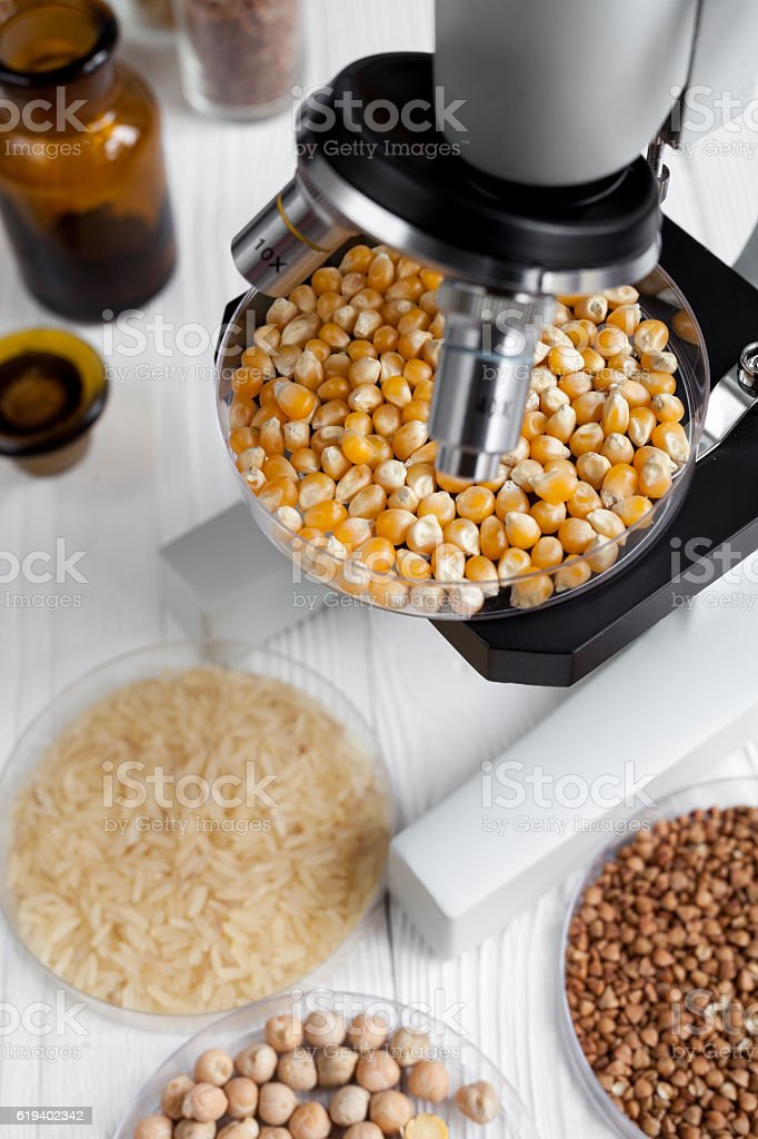 corn in petri dish for analysis on wooden background stock photo