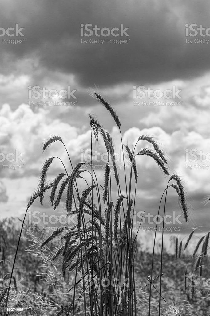 Corn in the field stock photo