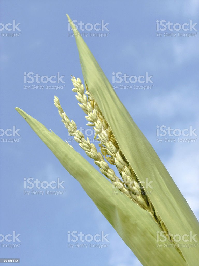 Corn in the field stock photo