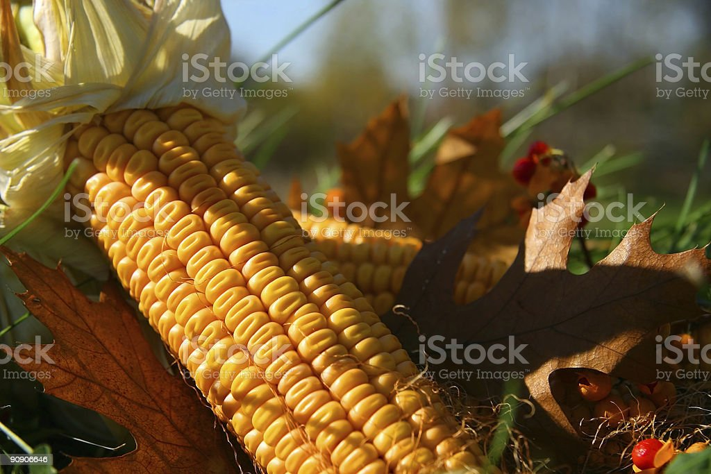 Corn in the grass stock photo