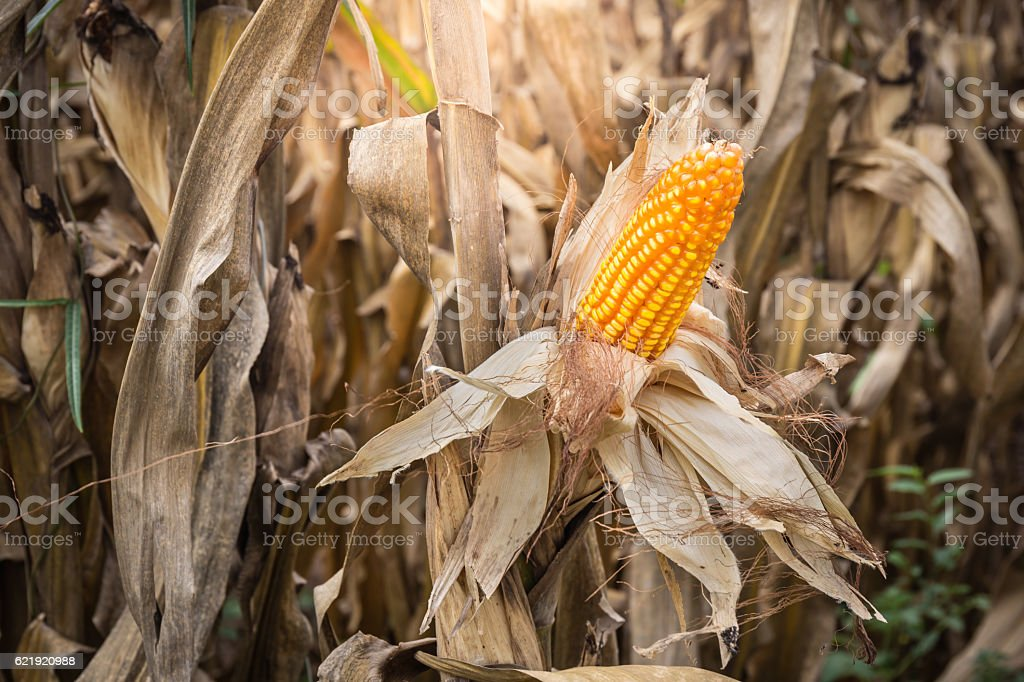 Corn is wait harvest in field at countryside of Thailand stock photo