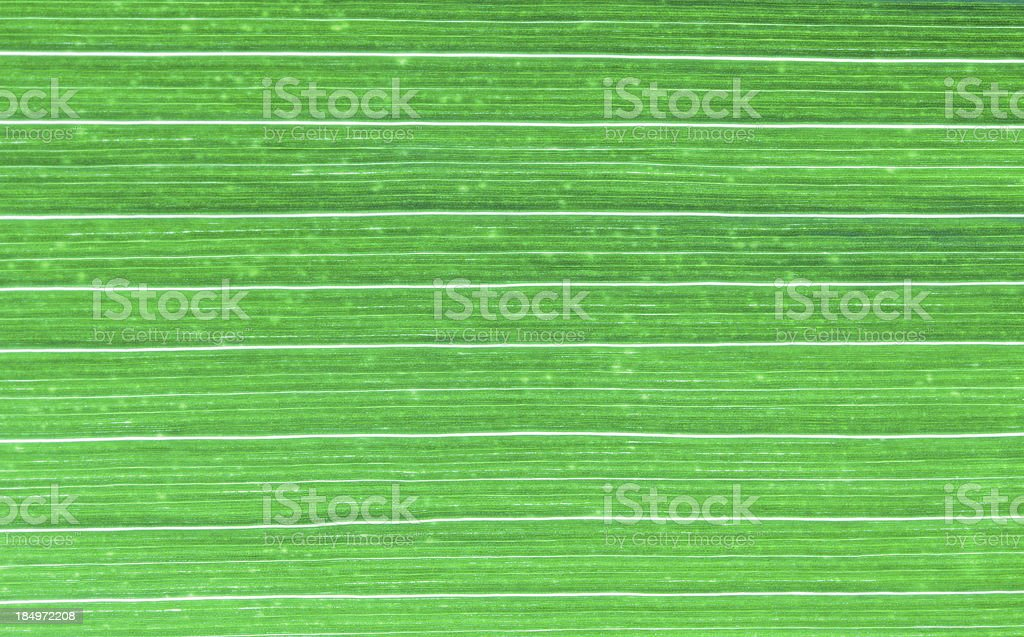 Corn Leaf royalty-free stock photo