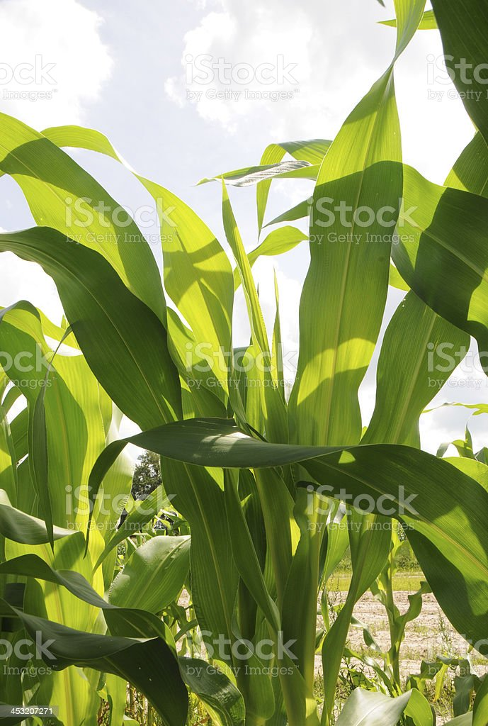 Corn Leaves on Young Stalk royalty-free stock photo