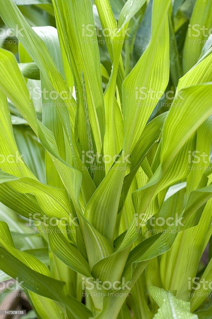 Hojas de maíz foto de stock libre de derechos