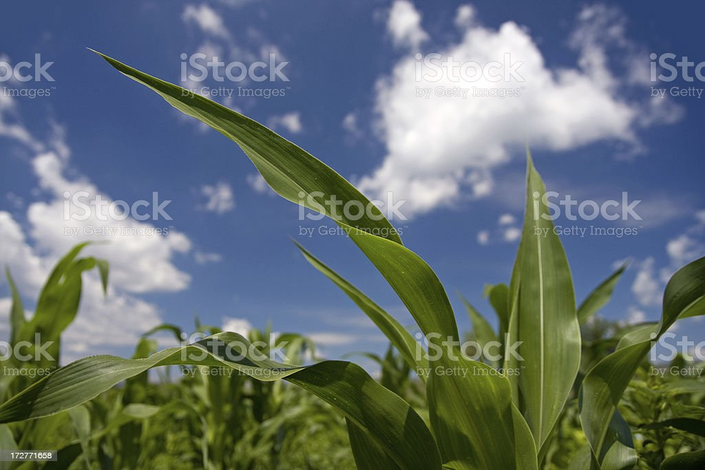 Corn leaves royalty-free stock photo