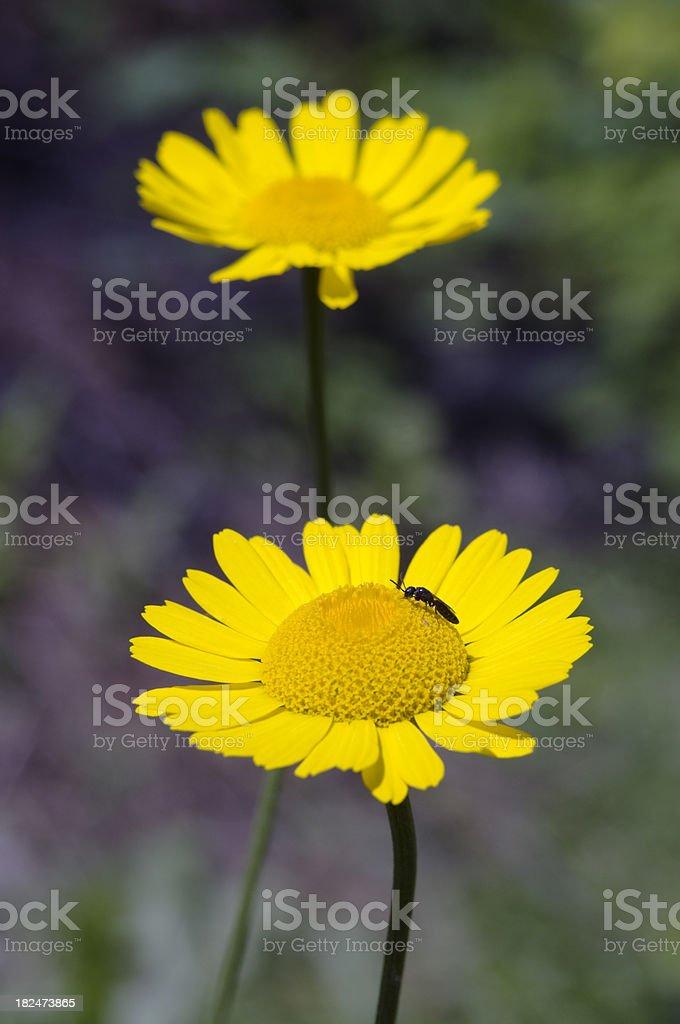 Corn Marigold stock photo
