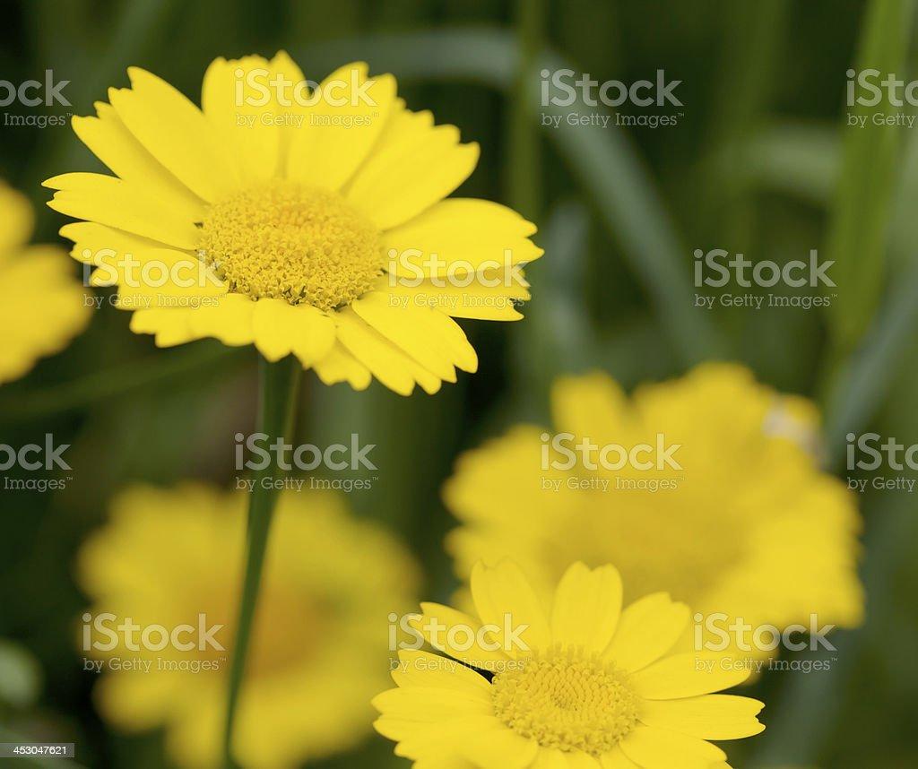 Corn Marigold (Chrysanthemum segetum) royalty-free stock photo