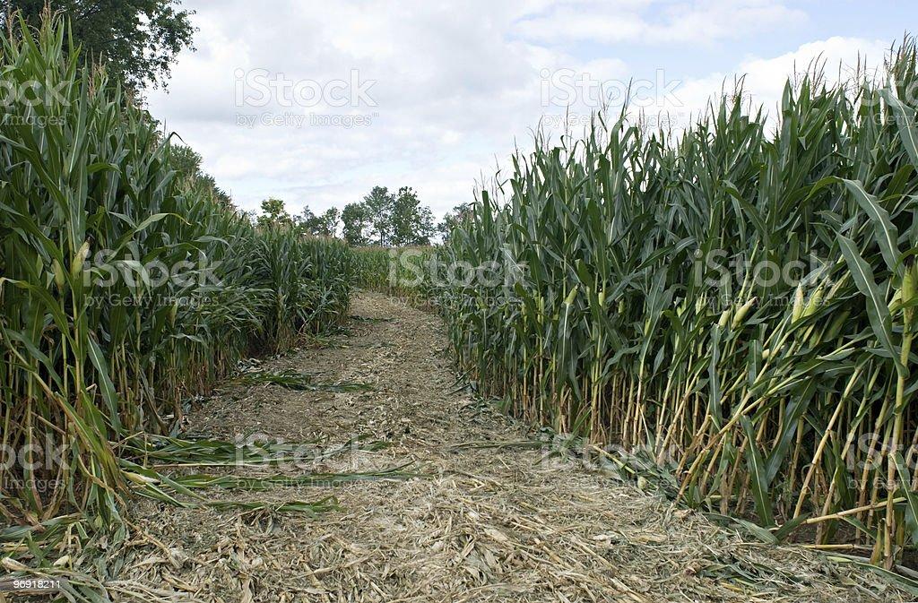 Corn Maze Path stock photo