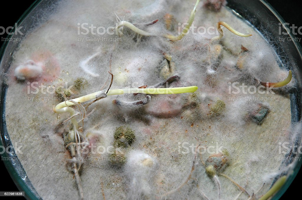 Corn molds with aflatoxin in Petry dish stock photo