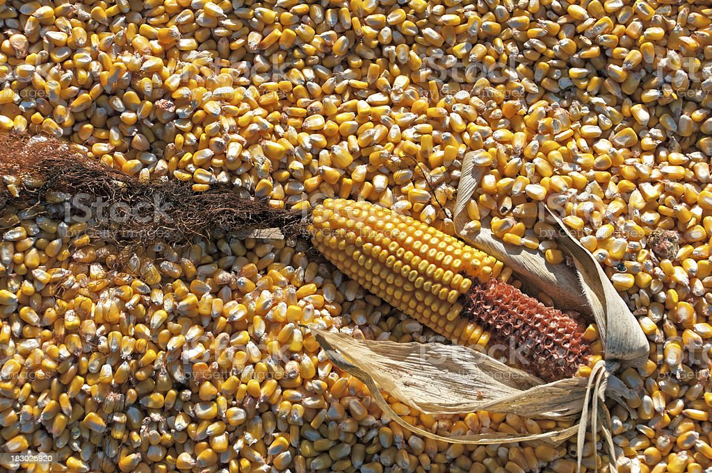 Corn on the Cob on a bed of Kernels royalty-free stock photo