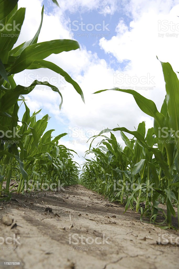 Corn on the cob tilted view royalty-free stock photo