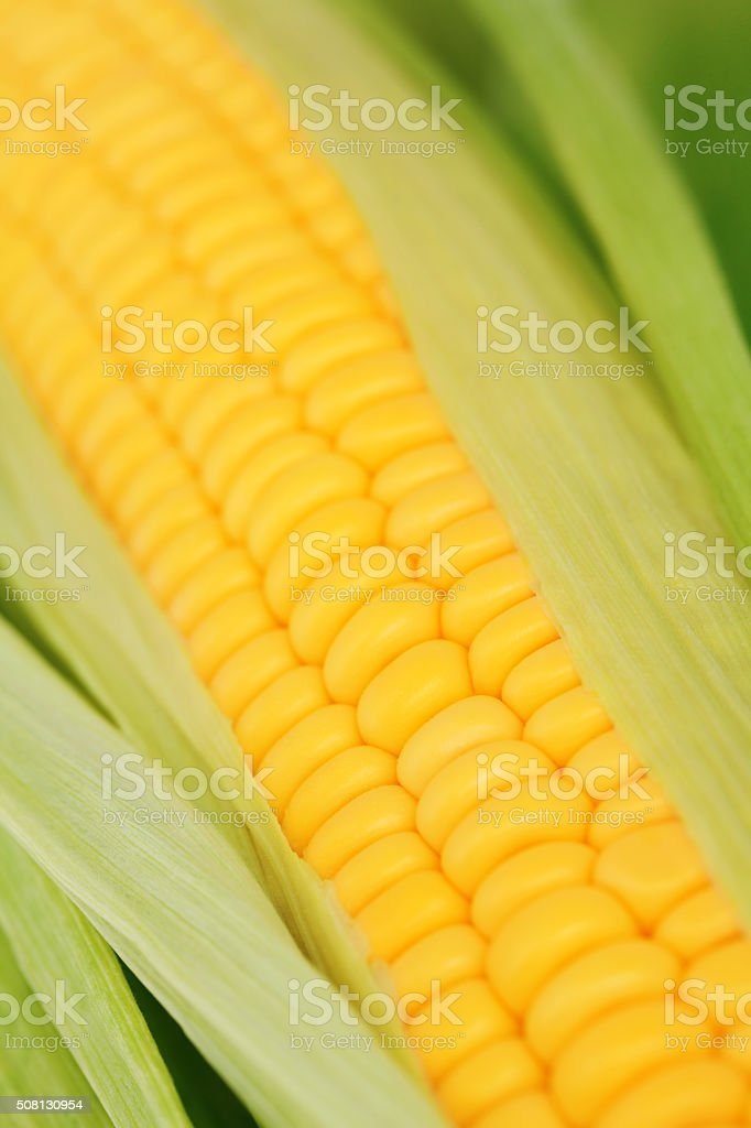 Corn on the cob with green leaves stock photo