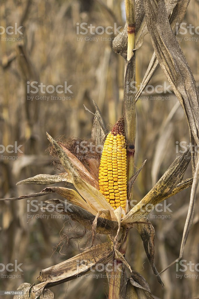 Corn on the stalk royalty-free stock photo