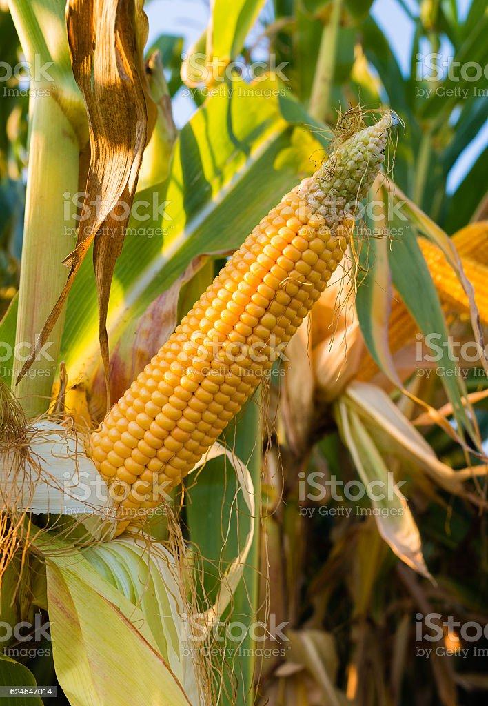 Corn on the stalk stock photo
