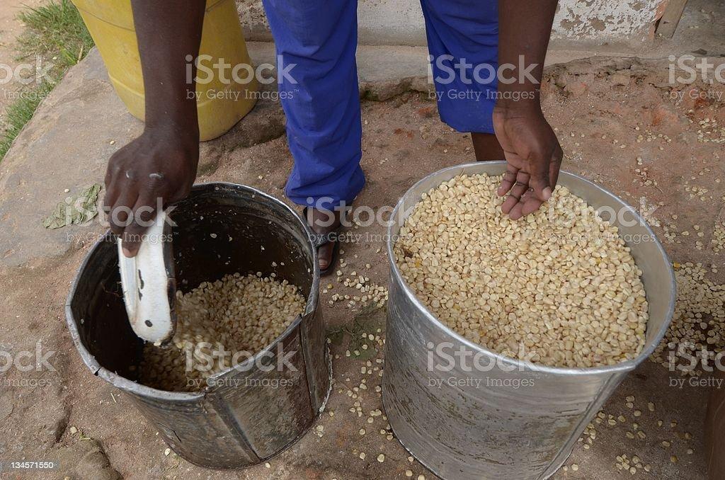 corn stock photo