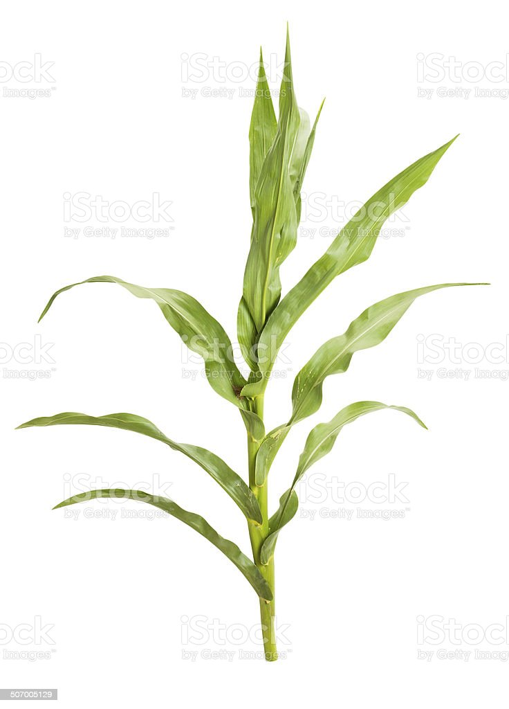 corn plant stock photo