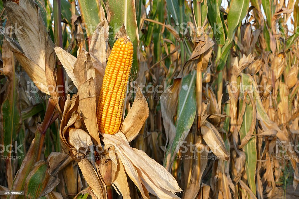 Corn plant ready for harvest stock photo