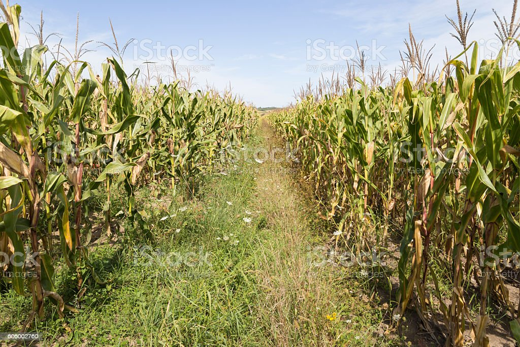 Corn plantage on sunny day in late summer stock photo