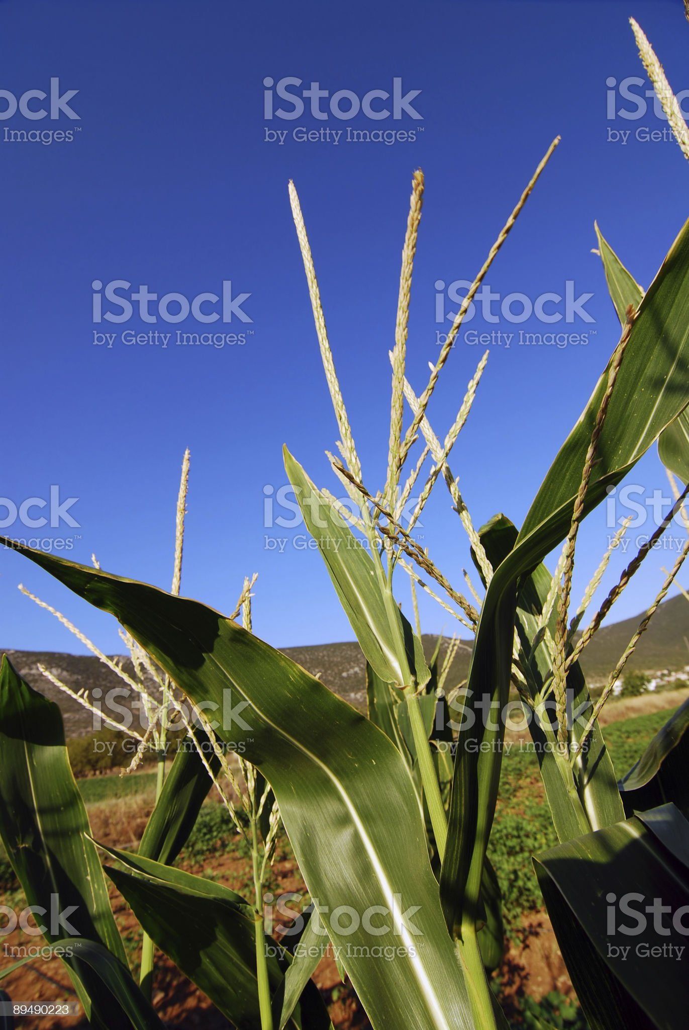 corn plantation royalty-free stock photo