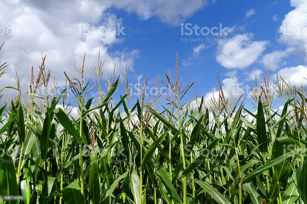 Corn plants against blue and white sky royalty-free stock photo