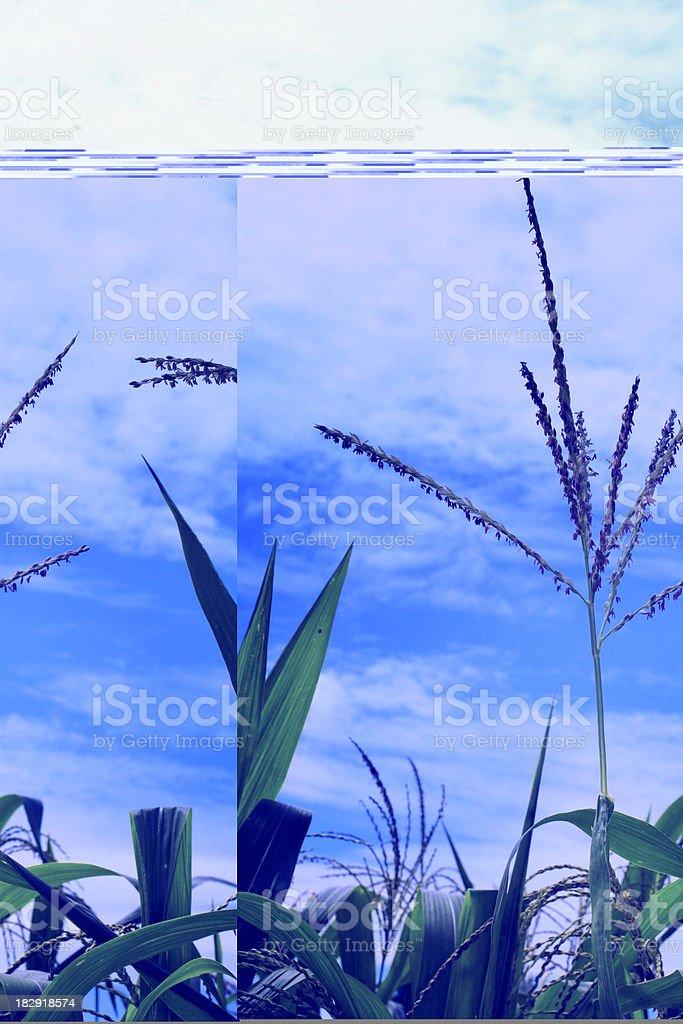 corn plants against blue cloudy sky stock photo