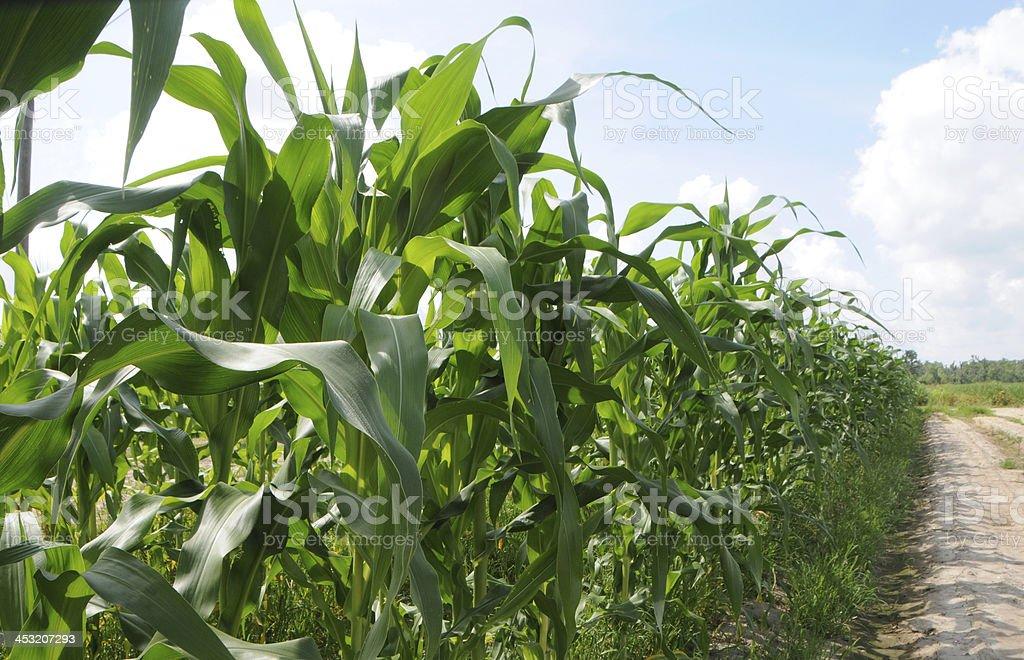 Corn Plants Growing in Field royalty-free stock photo