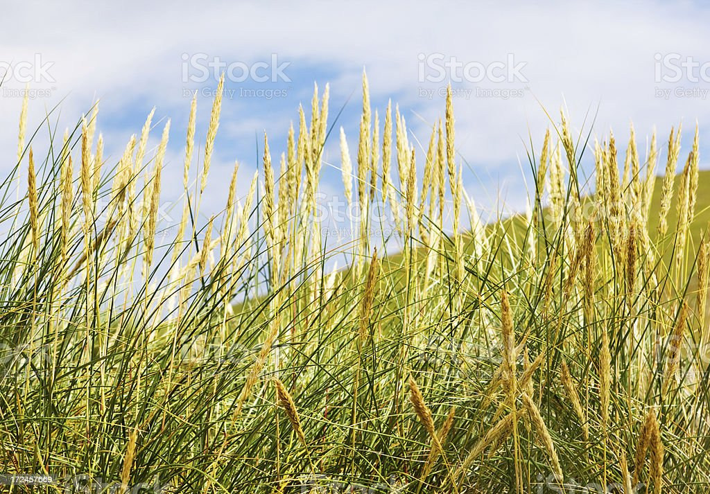 corn plants in summer royalty-free stock photo