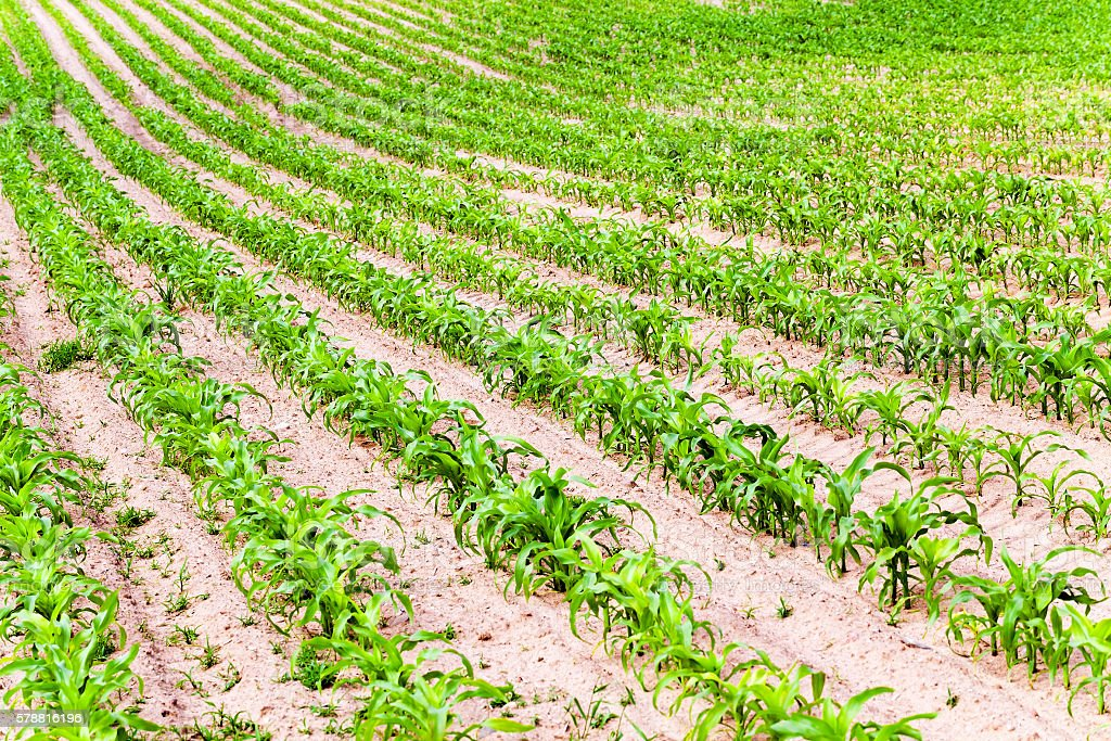 corn plants, spring stock photo