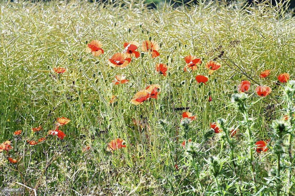 Corn Poppies royalty-free stock photo