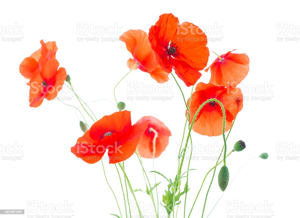 Corn Poppies with Seed Pods and Buds  (Papaver Rhoeas) royalty-free stock photo