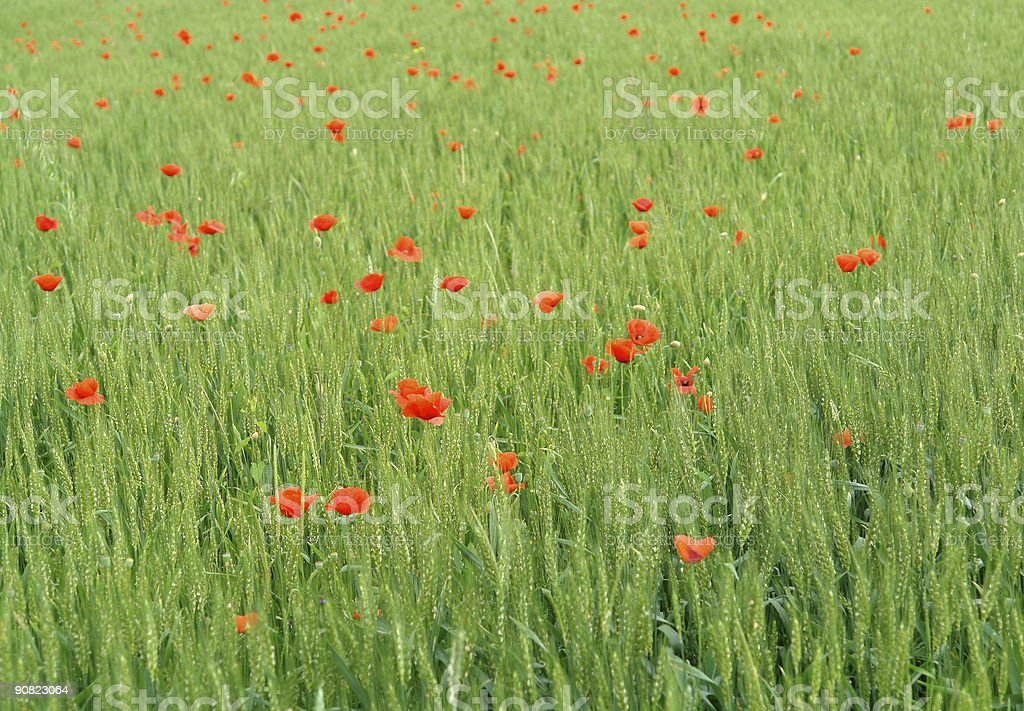 Corn poppy field royalty-free stock photo