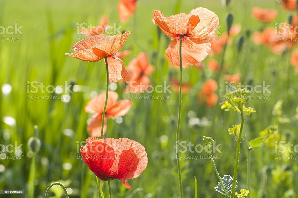 Corn Poppy (Papaver rhoeas) in Backlit royalty-free stock photo